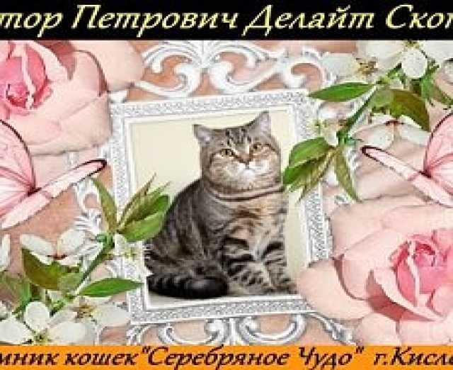 Продам Продажа Кот-производитель в Кисловодске