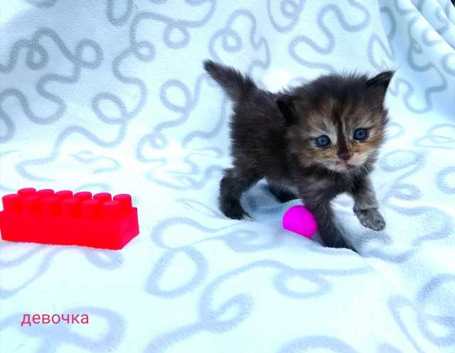 Продам Сибирские котята.