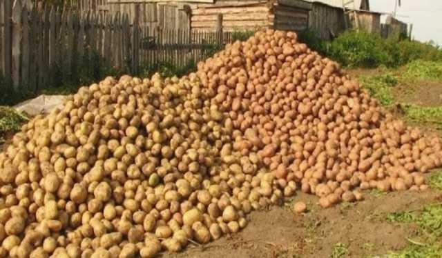 Продам Картофель оптом от фермерского хозяйства