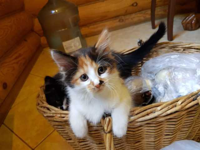 Отдам даром Трехцветная Таша - котенок в дар