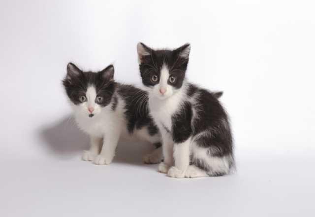 Отдам даром Чук и Гек - котята в добрые руки!