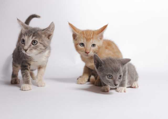 Отдам даром Три красавчика ищут дом! Котята