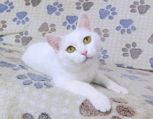 Отдам даром Бархатная нежная белая кошка Лапа