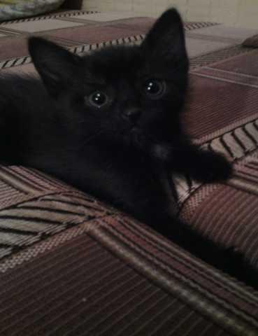 Отдам даром Чёрных котят