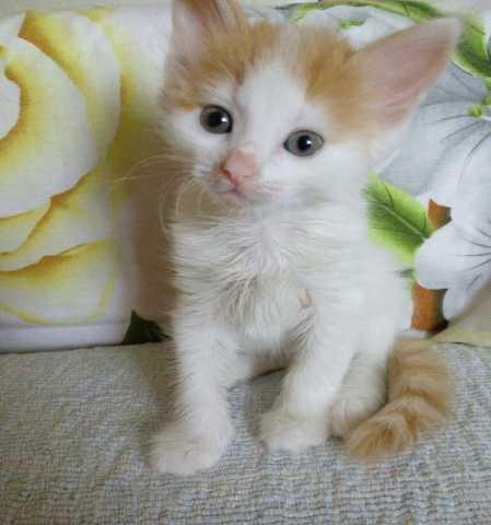 Отдам даром Нежный котенок Леона в хорошие руки