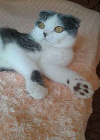 Спрос: Вислоухая кошечка ищет котика для вязки