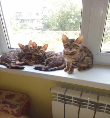 Продам Чистокровные котята-бенгалята