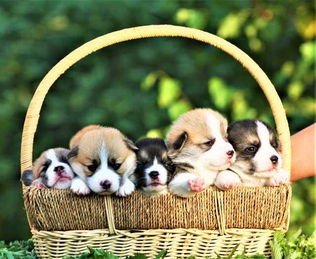 Продам щенки вельш корги пемброк