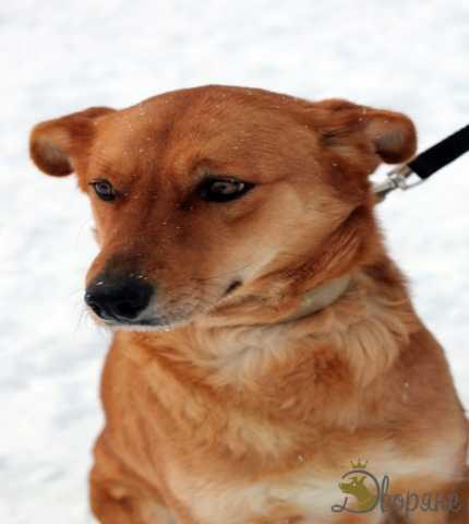 Отдам даром Замечательный пёс Рыжик