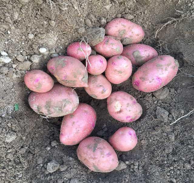 Продам Картофель сорт Ред Скарлет, калибр 5+
