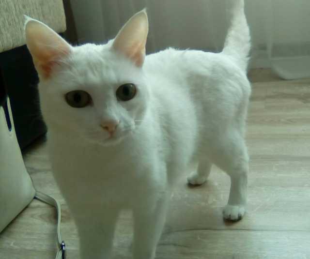 Отдам даром Белая кошка 3 года