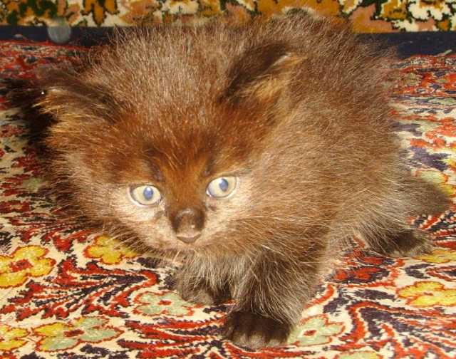 Продам Маврик Чёрый, Сибирский котёнок