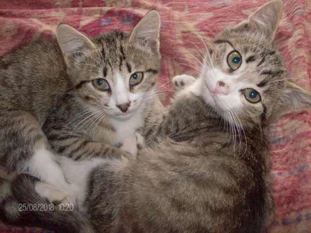Отдам даром два котенка мальчика