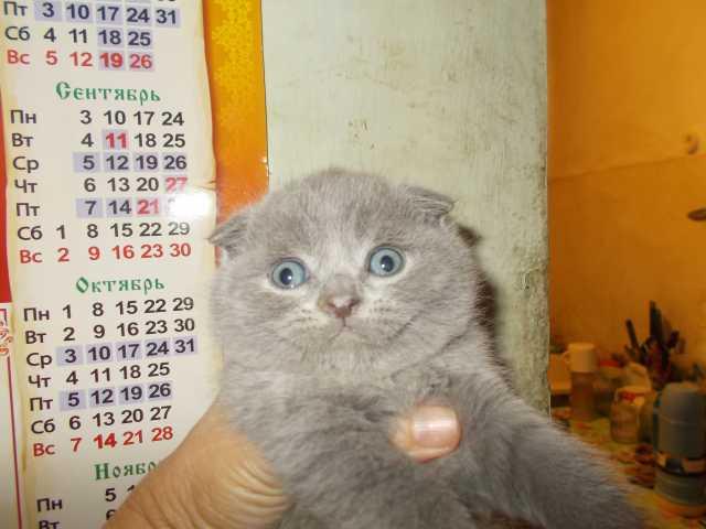 Продам котята шотландской породы