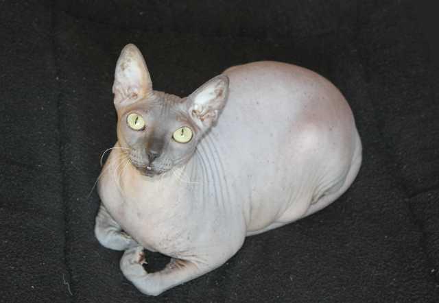 Продам кошка донской сфинкс