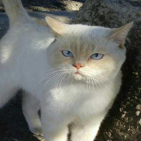 Отдам даром Шикарный котик с голубыми глазами