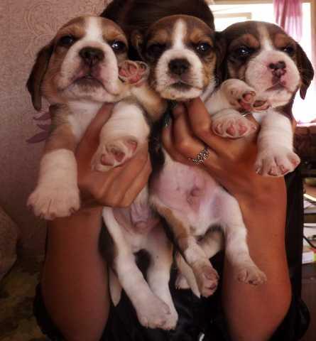 Продам Продаются щенки биглей
