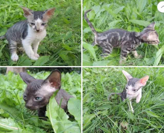 Продам котята Сфинксы
