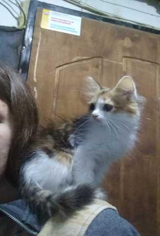 Отдам даром Котёнок, девочка 2 месяца