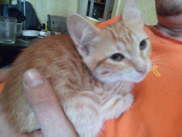 Отдам даром Гладкошерстные котята в добрые руки
