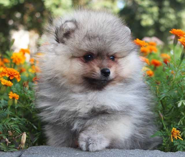 Продам щенок померанского шпица