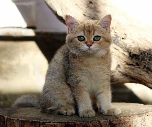 Продам Котят британские золотые шиншиллы