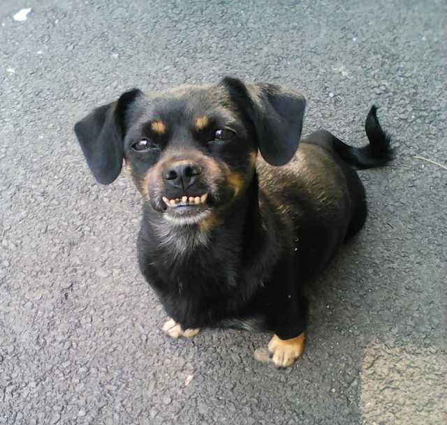 Отдам даром Маленькая собачка Дусьен ищет семью