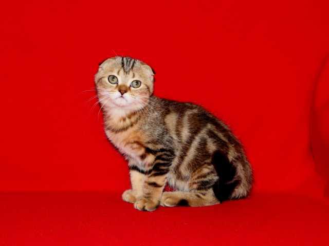 Продам Вислоухий тигровый малыш