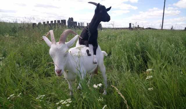 Продам Две козы