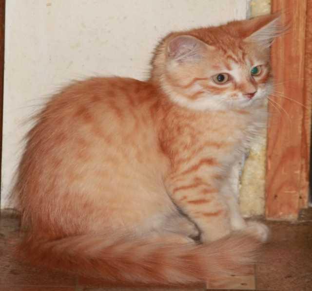 Продам котята Сибирские с документами