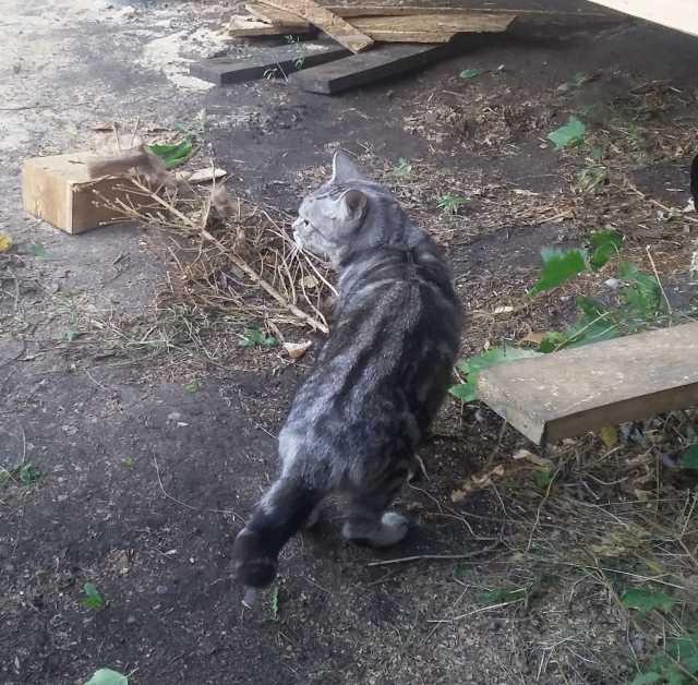 Отдам даром Породистая кошка мраморного окраса