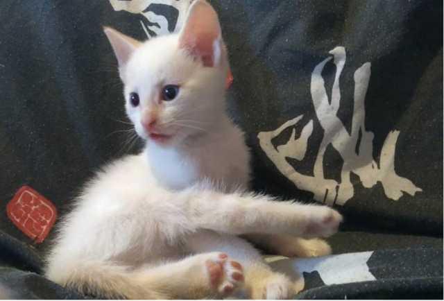 Продам Сибирские котята, мальчик окрас белый