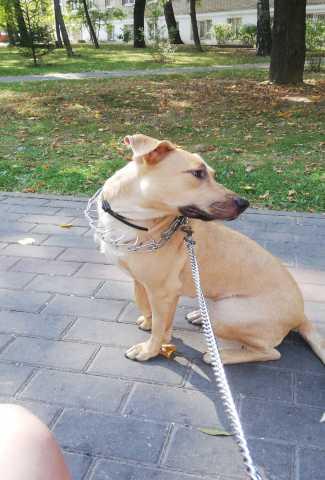 Отдам даром: Собака даром. Метис стаффа и лабрадора