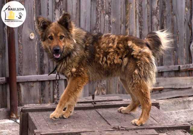 Отдам даром Собака Пухис- лучший охранник