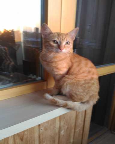Отдам даром Лучик- солнечный котик