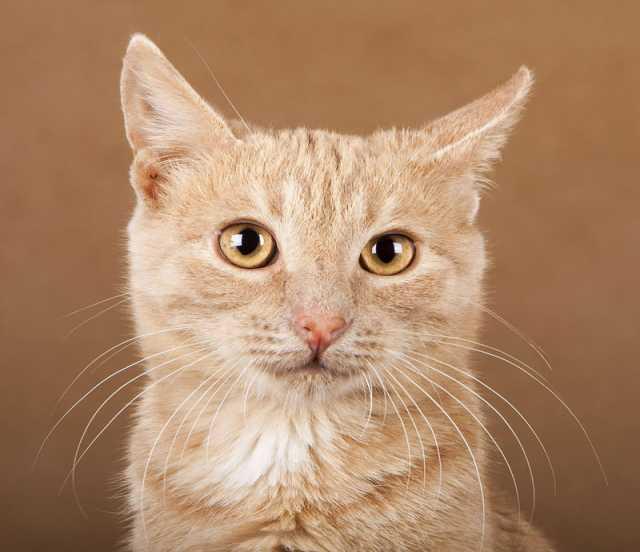 Отдам даром В добрые руки рыжий кот Лёва!