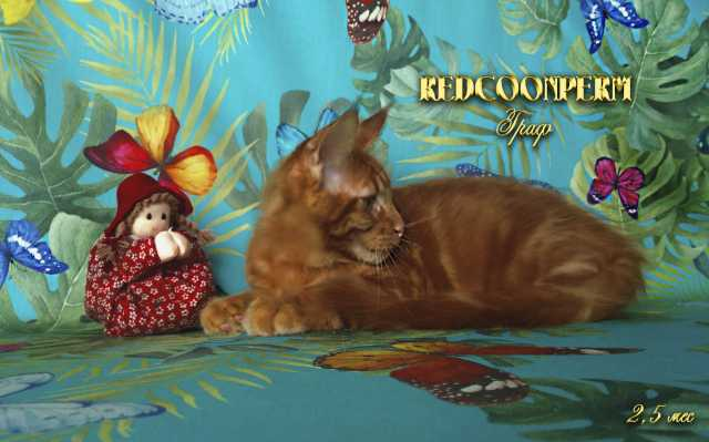 Продам: Котёнок мейн кун красный солид