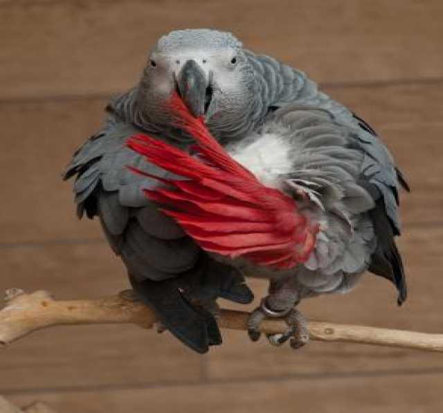 Продам здорового и активного серого попугая.