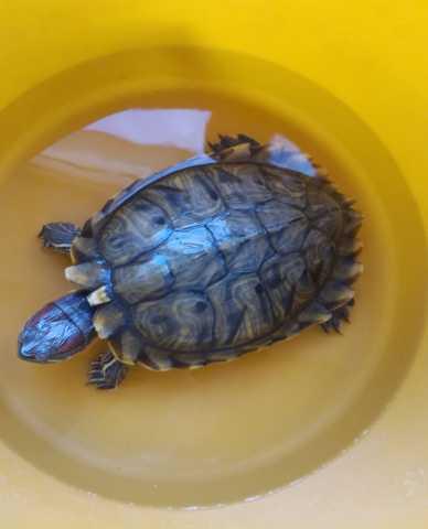 Продам Красноухие черепахи