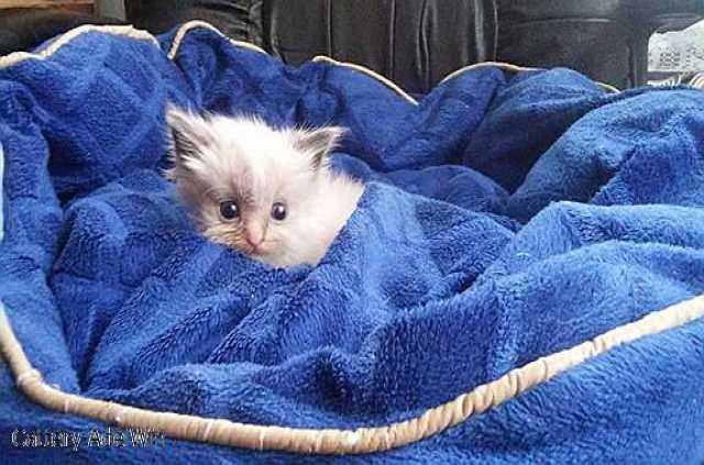 Продам Котята породы Рэгдолл (кошка-кукла)