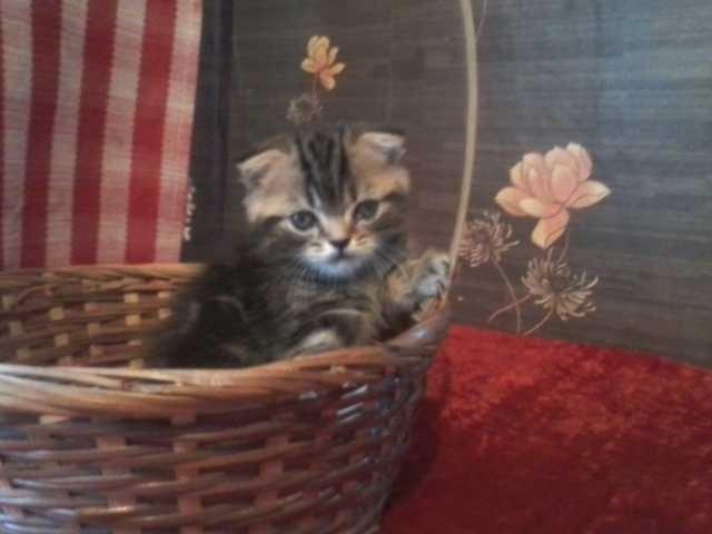 Продам Шотландский котик Хайленд -фолд