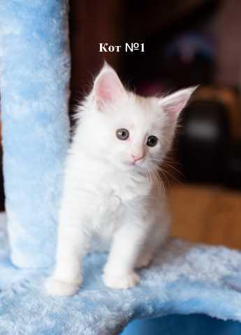 Продам Котята Мейн Кун