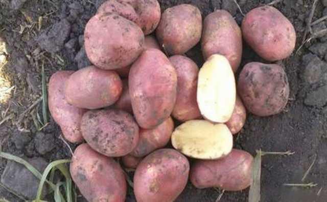 Продам Картофель от 20 тонн Ред Скарлет 5+