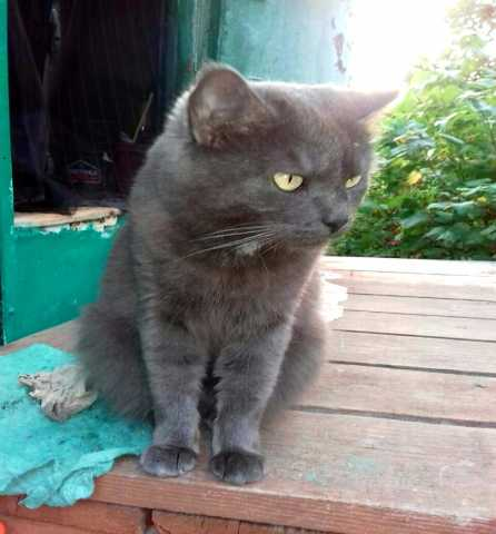 Отдам даром Красивая кошка мышелов метис британки