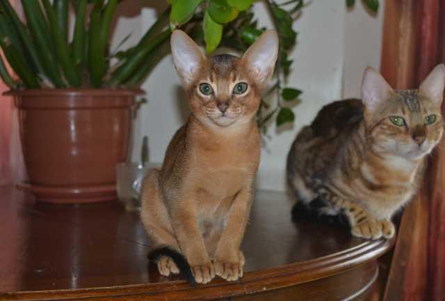 Продам котята-непоседы