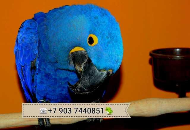 Продам Гиацинтовый ара - ручные птенцы
