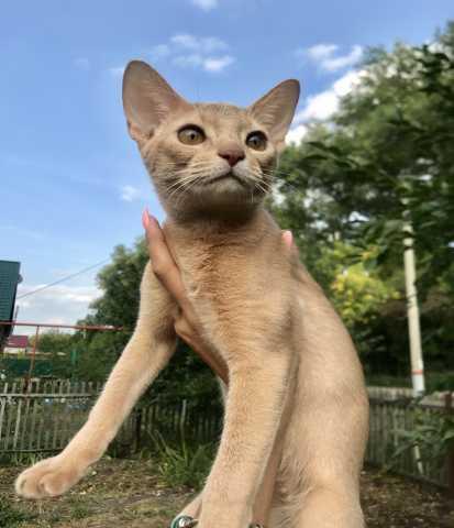 Продам: Котёнок абиссинский