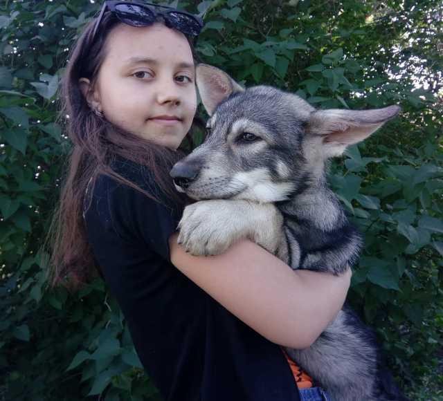 Продам Щенки собаки Сарлоса (Saarloos Wolfdogs)