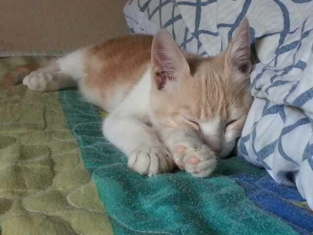 Отдам даром Котёнок бело-рыжий