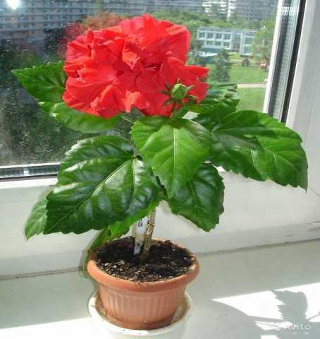 Продам Китайская роза